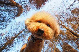 Picture Dogs Poodle Staring Bottom view Snout