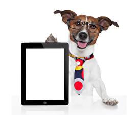 Bilder Hund Tablet-Computer Weißer hintergrund Jack Russell Terrier Brille Krawatte Vorlage Grußkarte Tiere