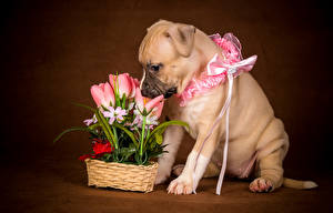 Pictures Dogs Tulips Puppy Bow Animals