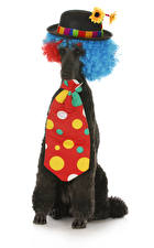 Image Dogs White background Poodle Uniform Hat Necktie Animals