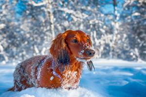 Bilder Hunde Winter Dackel Blick Schnee Tiere