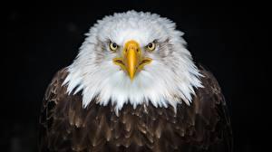Images Eagle Displeased Beak Staring Black background