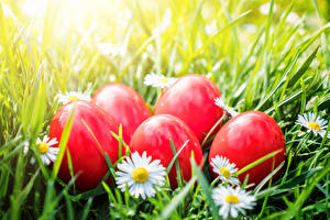 Photo Easter Camomiles Eggs Red