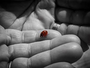 Bilder Finger Großansicht Marienkäfer ein Tier