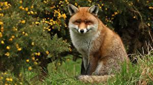 Фотография Лисица Сидящие Животные