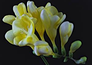 Fotos Freesie Hautnah Schwarzer Hintergrund Gelb