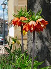 Pictures Fritillaria Orange Flowers