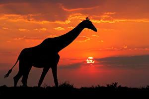 Hintergrundbilder Giraffe Sonnenaufgänge und Sonnenuntergänge Silhouette Tiere