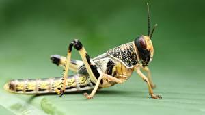 Fotos Kurzfühlerschrecken Großansicht Tiere