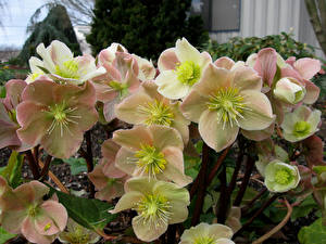 Pictures Hellebore Closeup Flowers