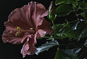 Fotos Eibisch Großansicht Schwarzer Hintergrund Dunkelrote Knospe Blumen