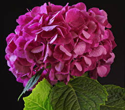 Bilder Hortensie Nahaufnahme Schwarzer Hintergrund Rosa Farbe Blumen