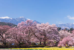 Pictures Japan Parks Spring Flowering trees Hokuto Yamanashi Prefecture Nature