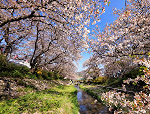 Picture Japan Tokyo Spring Parks Flowering trees Nature