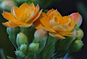 Bilder Kalanchoe Großansicht Orange Blütenknospe Blumen