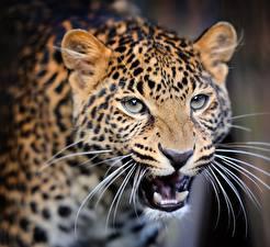 Bilder Leopard Starren Schnurrhaare Vibrisse Schnauze Grinsen ein Tier