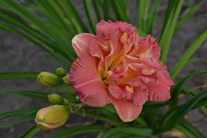 Hintergrundbilder Lilien Rosa Farbe Blütenknospe Blumen