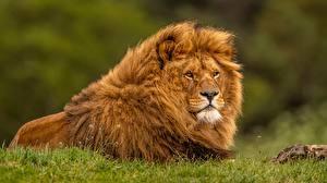 Bilder Löwe Gras Tiere