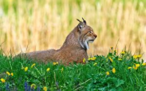 Hintergrundbilder Luchse Löwenzahn Gras