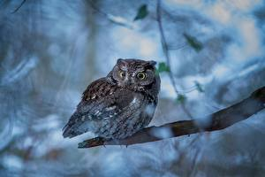 Wallpapers Owls Branches Flammulated owl Animals