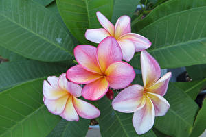 Wallpapers Plumeria Closeup Leaf Flowers