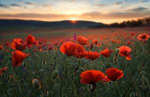 Wallpapers Poppies Fields Evening Nature Flowers