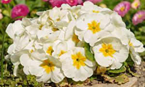 Fotos Schlüsselblumen Großansicht Weiß Blumen
