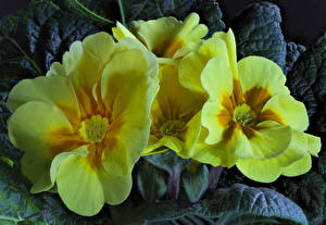 Wallpapers Primula Closeup Yellow Flowers