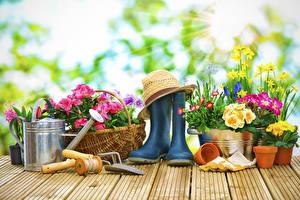 Fotos Primeln Narzissen Gänseblümchen Bretter Stiefel Der Hut Blüte