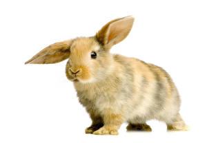Bilder Kaninchen Großansicht Weißer hintergrund Tiere