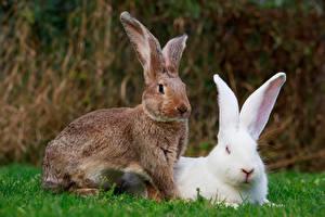 Hintergrundbilder Kaninchen Zwei ein Tier