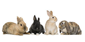 Wallpapers Rabbits White background