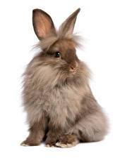 壁纸,,兔,白色背景,坐,動物