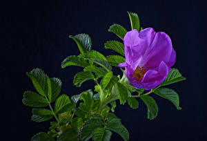 Wallpaper Roses Black background Branches Violet Leaf Flowers