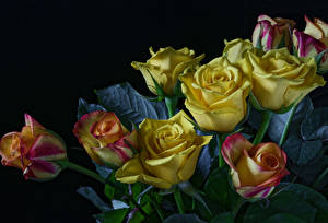 Wallpaper Roses Black background Yellow