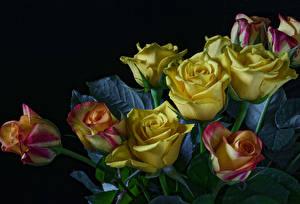 Fotos Rosen Schwarzer Hintergrund Gelb Blumen