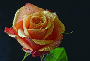 Bilder Rosen Hautnah Schwarzer Hintergrund Tropfen Blüte