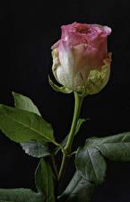 Bilder Rosen Nahaufnahme Schwarzer Hintergrund Rosa Farbe Blumen