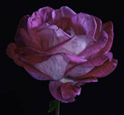 Fotos Rose Großansicht Schwarzer Hintergrund Rosa Farbe Blumen