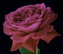Fotos Rosen Großansicht Schwarzer Hintergrund Rosa Farbe Blumen