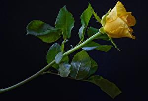 Fotos Rosen Großansicht Schwarzer Hintergrund Gelb Blumen