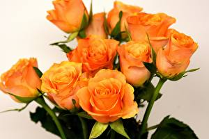 Pictures Roses Closeup Orange Flowers