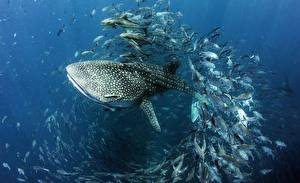 Pictures Sharks Fish Underwater world Whale shark
