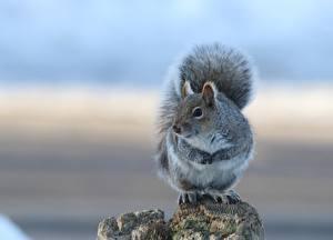 Fotos Eichhörnchen Grau Tiere