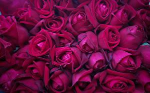 Fotos Textur Rosen Bordeauxrot Blumen