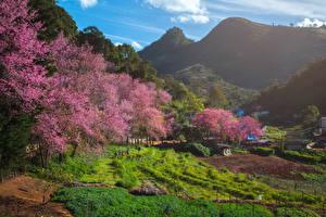 Hintergrundbilder Thailand Frühling Gebirge Felder Blühende Bäume Fang City Natur