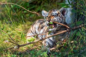 Wallpaper Tigers Cubs Branches Animals