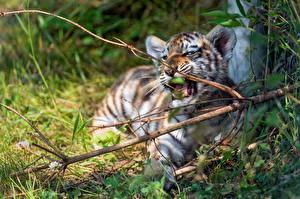 Papéis de parede Tigre Filhotes Galho Animalia