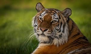 Hintergrundbilder Tiger Starren Schnauze ein Tier