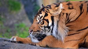 Bilder Tiger Blick Schnauze